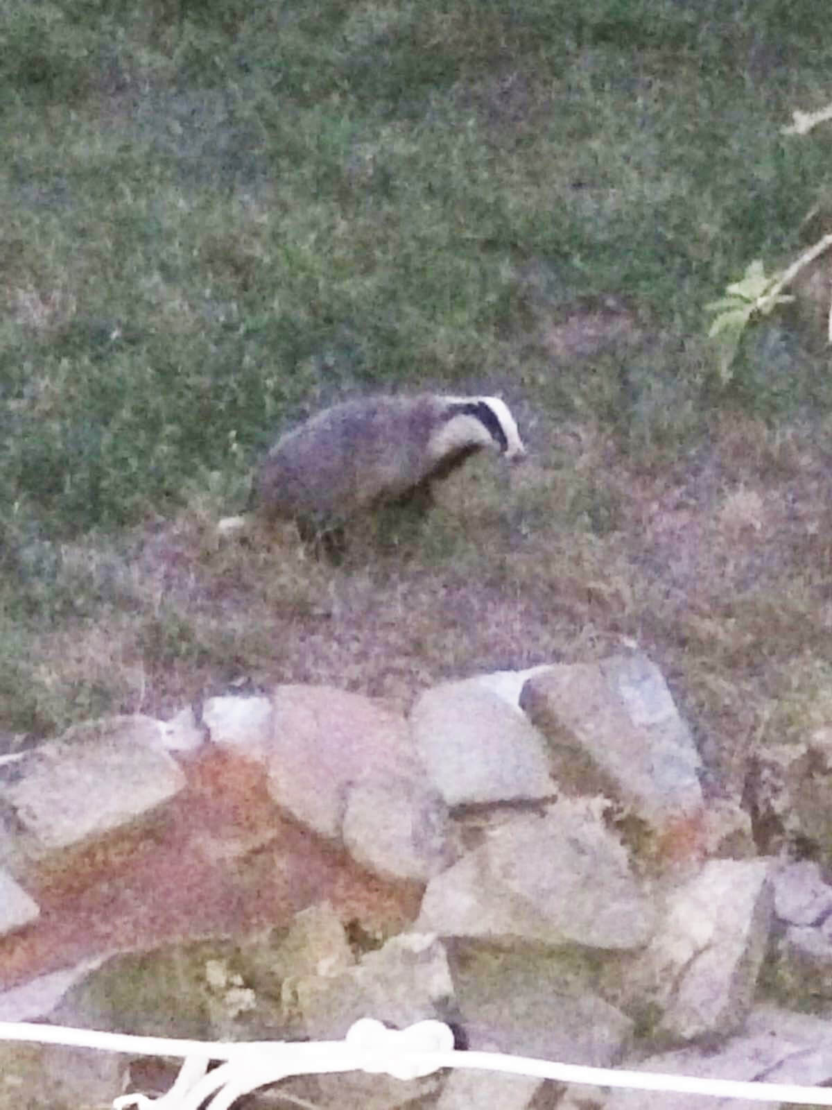 The daily visitor, a Badger in the garden.